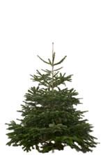nordman fir - Different Kinds Of Christmas Trees