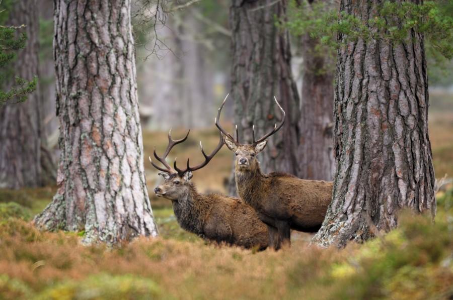 Landscaping Ties Red Deer : Red deer cervus elaphus forestry commission scotland