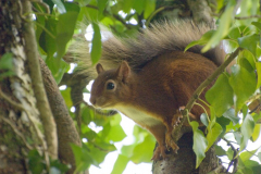 Conserving Red Squirrels
